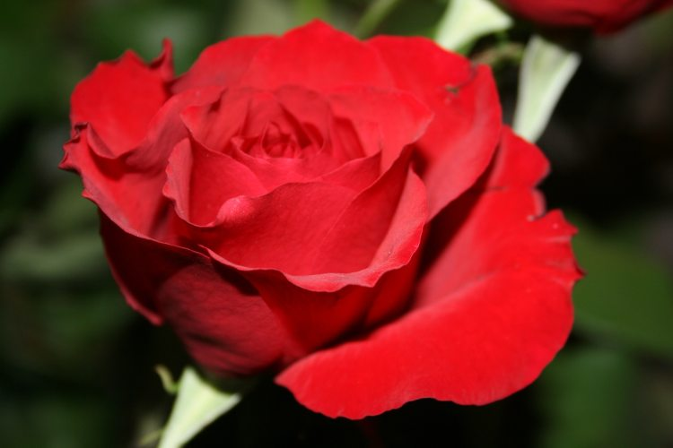 The Rose Reflections On Its Meaning Rosicrucian Online