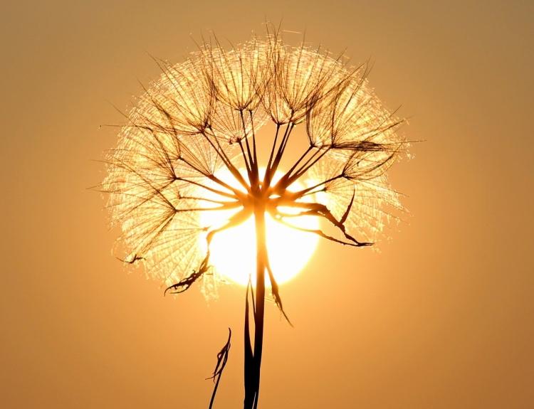 white-dandelion-flower-192544