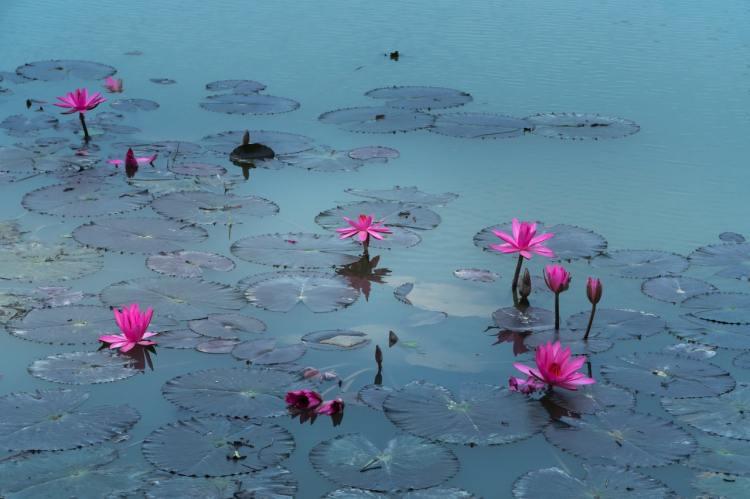 pink-lotus-flowers-2171292